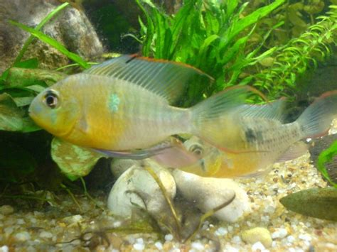 ram fish species colorful tropical fish pictures bolivian ram
