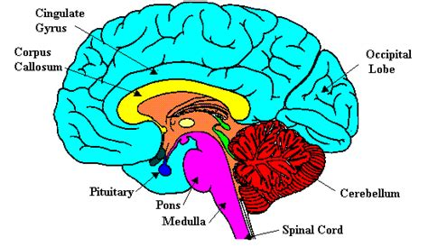 sectionalism for kids the parts of the brain and the functions labeled diagram