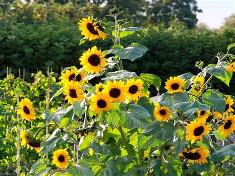 sunflower patch sunflower patch flowers and plants wallpaper