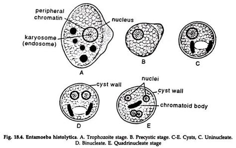 labelled diagram of entamoeba histolytica diagram of entamoeba histolytica 28 images history of