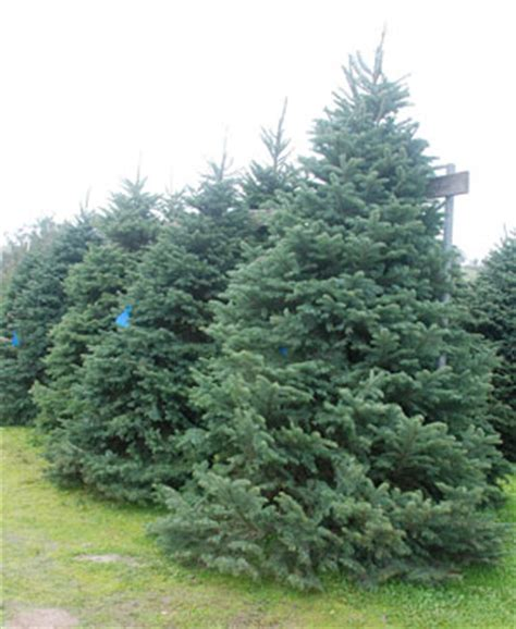 best 28 how much are fresh christmas trees awesome