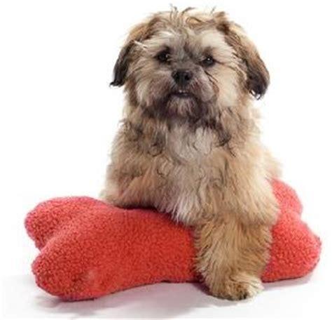 shih tzu poodle mix temperament shihpoo shih tzu and poodle hybrid