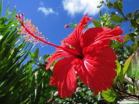 Sepatu Cat Gats hibiscus rosa sinensis la flor de l 180 estiu garden