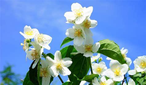 piante con fiori bianchi profumati fiori profumati idee green