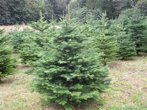 meadow fir 10 christmas tree images tree noble fir kildare trees