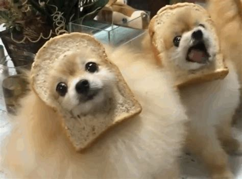 where did pomeranians originate a car packed with pomeranians and bread rebrn