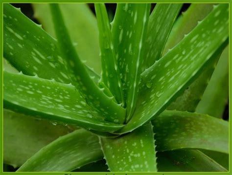 Herbal Lidah Buaya Aloe Vera kandungan dan manfaat aloe vera lidah buaya nectura juice
