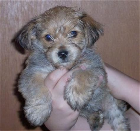 bichon frise yorkie mix puppies bichon frise yorkie mix