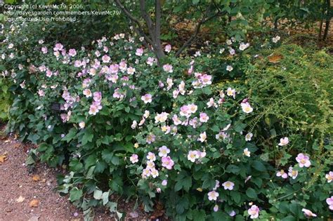 plantfiles pictures japanese windflower japanese anemone