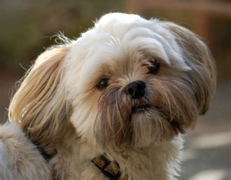 shih tzu mixed with lhasa apso shih tzu lhasa apso mix dogable