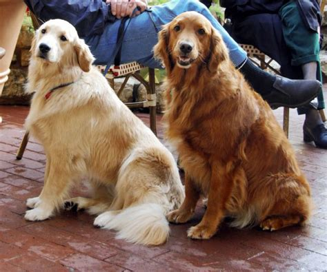 pictures of golden retrievers file golden retrievers and light jpg