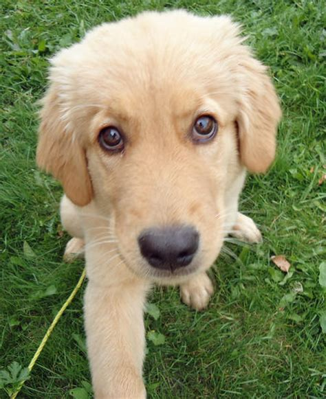 mixed golden retrievers gallery beagle mixed with golden retriever puppy