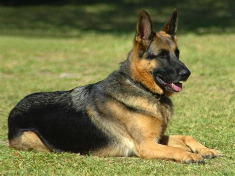 how to a k9 image gallery k9 dogs