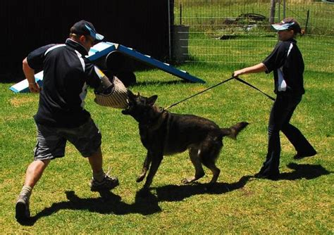 how to a german shepherd to attack how to a german shepherd to attack interesting facts