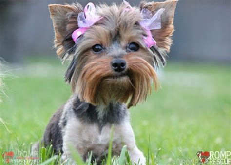 yorkies reply chicago rescued yorkies fauna romp italian greyhound rescueromp italian greyhound