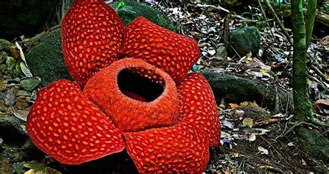 White Raflesia rafflesia flower in kota kinabalu malaysia the world s