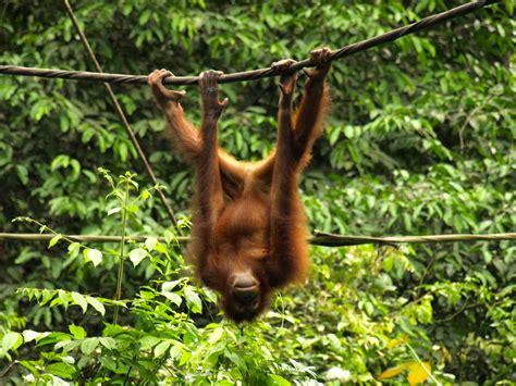 wildlife wednesday orangutan  borneo experimental