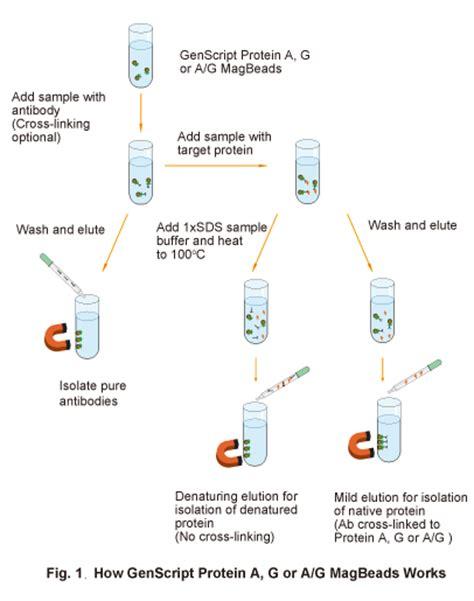sepharose immunoprecipitation protein a g and a g magbeads immunoprecipitation