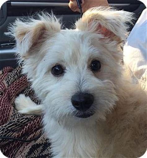 yorkie rescue orlando orlando fl yorkie terrier shih tzu mix meet dice a puppy for adoption