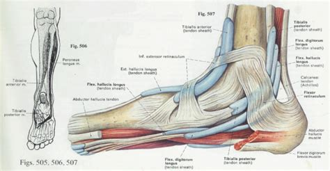 Heel Diagram heel anatomy diagram tag human heel anatomy human anatomy