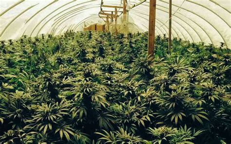 growing marijuana indoors  natural light potent