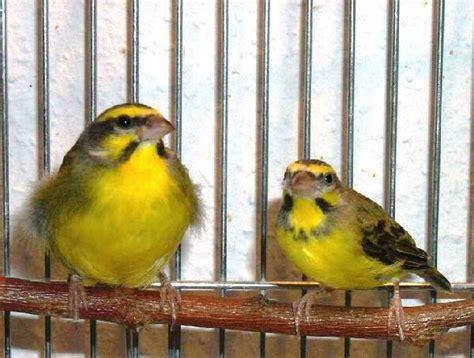 Sanger Betina Dewasa mozambiq master kenari pondok kenari bird farm