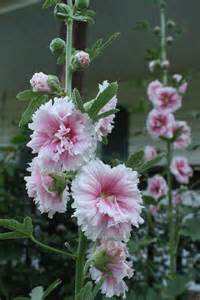 Five uses for hollyhocks
