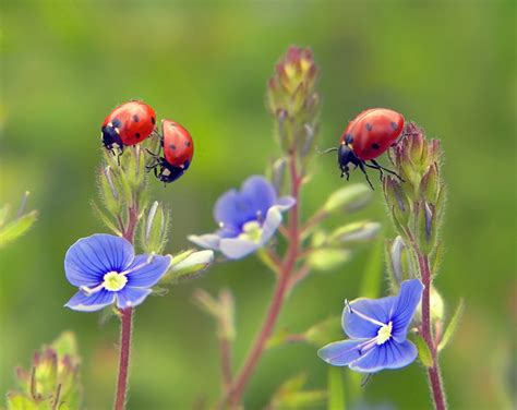 insects and flowers the some thoughts on buying ladybugs for the garden berkeley garden coach