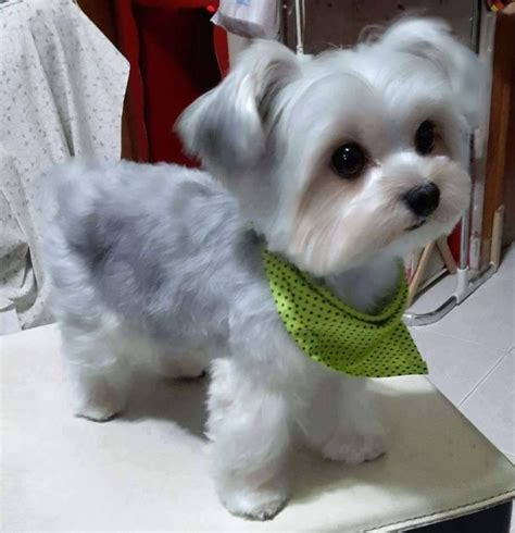 maltipoo haircuts grooming my heart just did that grinch thing dogs pinterest