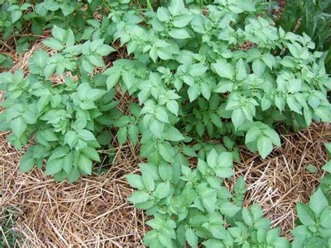 Vegetable Garden Mulch Ideas Vegetable Garden Mulch Ideas Photograph The Scoop On Mulch