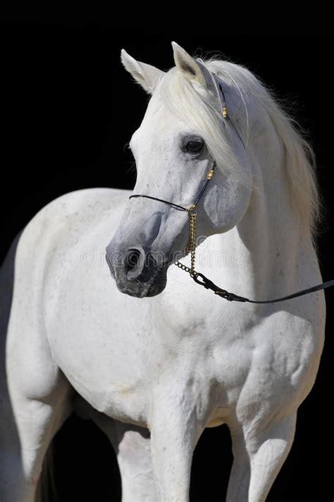 white arabian horse stallion portrait stock photo image  beauty beautiful