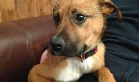 what breed of is scooby doo scooby doo 5 6 month cross breed for adoption