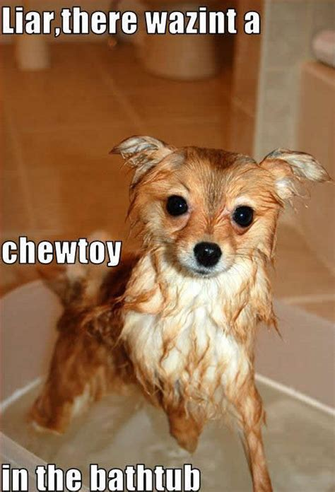 dogs in the bathtub liar there wazint a chewtoy in the bathtub dogs photo 11954790 fanpop