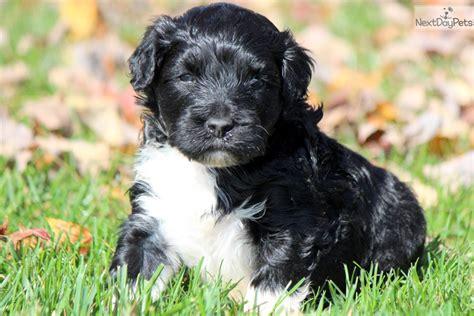 portuguese water puppies price portuguese water puppy for sale near lancaster pennsylvania 15fcf102 c391