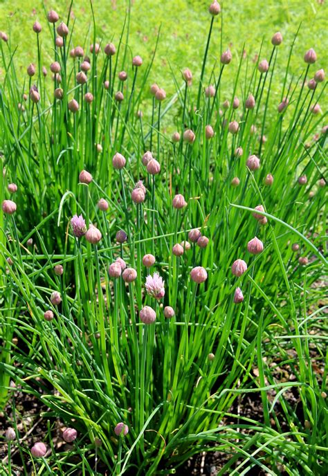 wild chives   deal  wild chives   yard