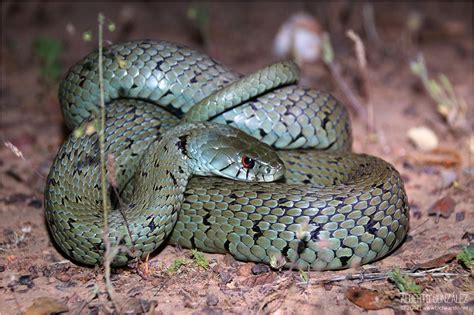 imágenes de serpientes negras culebras negras