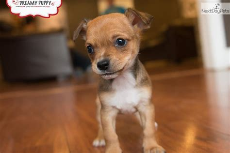 chiweenie puppies price chihuahua puppy for sale near washington dc c4f3c858 2171