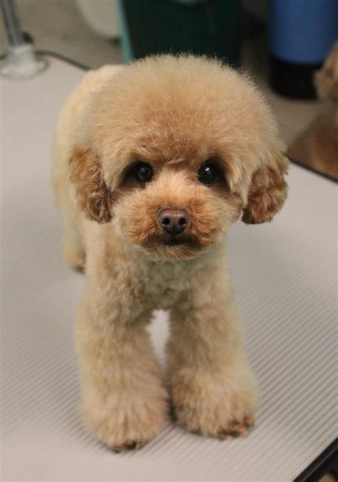 Poodle Haircuts Images | haircuts for toy poodleatticus in his new clip poodle