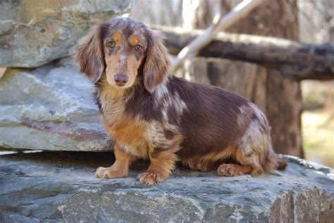 dachshund puppies for sale upstate ny hair dams reevesdachs miniature dachshunds