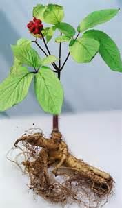 growing ginseng ginseng causes symptoms treatment ginseng