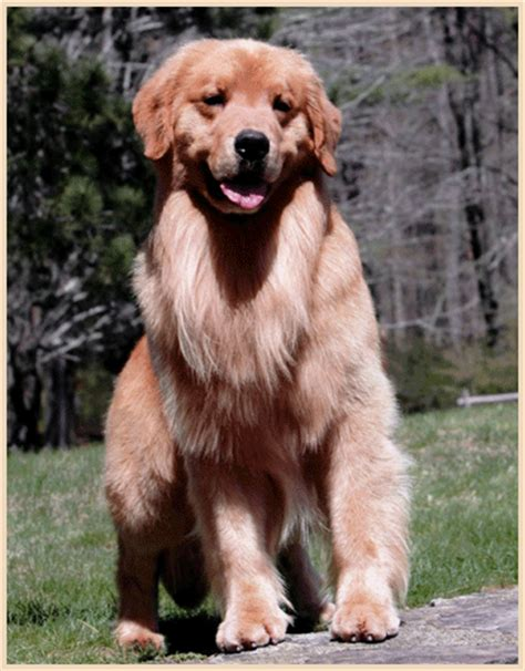 golden retrievers ma adopt a golden retriever puppy in massachusetts photo