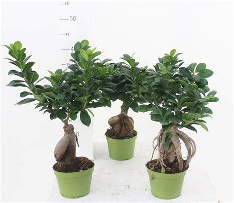 Ginseng Surabaya ginseng bonsai ficus ginseng pictures bonsai ginseng
