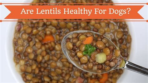 can dogs eat lentils can dogs eat lentils smart owners