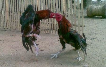 Pakan Ayam Br 5 11 Diberikan Untuk Ayam Pedaging Periode december 2013 ayam bangkok pro