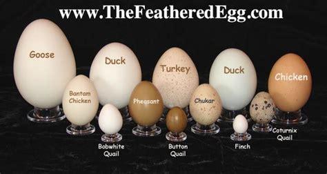 egg collection goose  finch  urban