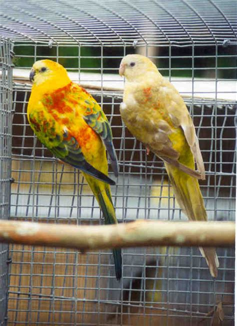 birds for sale san diego male red rump parakeet rump parakeet facts temperament as pets care pictures singing wings aviary
