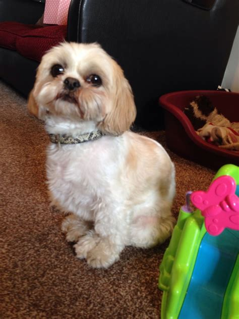 shih tzu sheffield spayed shih tzu for sale sheffield south pets4homes