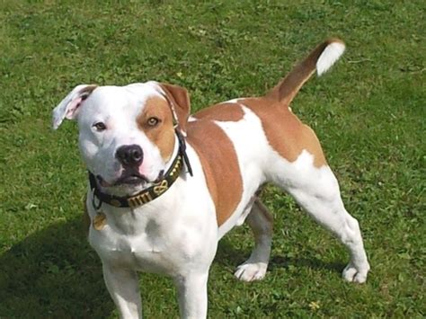 staffordshire terrier puppies staffordshire bull terrier breed guide learn about the staffordshire bull terrier