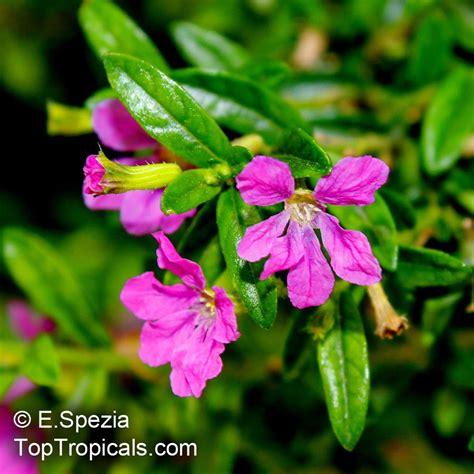 cuphea hyssopifolia mexican false heather false heather