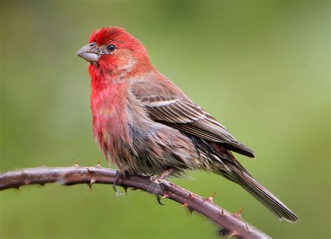 house finch wiki file house finch 4268 002 jpg wikimedia commons